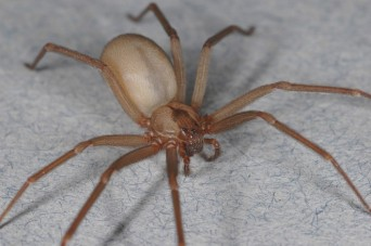 Brown recluse spiders like to build webs in low areas, such as under chairs or tables