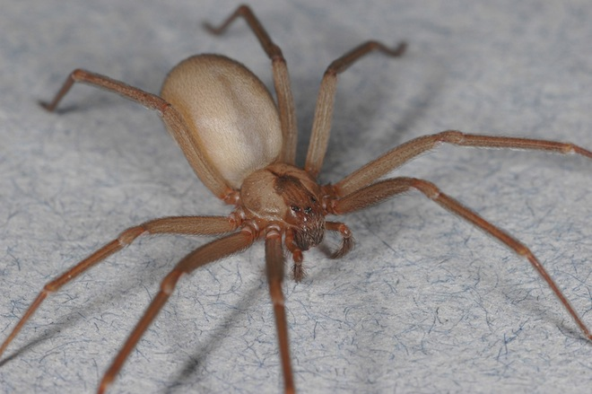 Deadly Spider Alert Sets Chiang Mai Media a Buzz