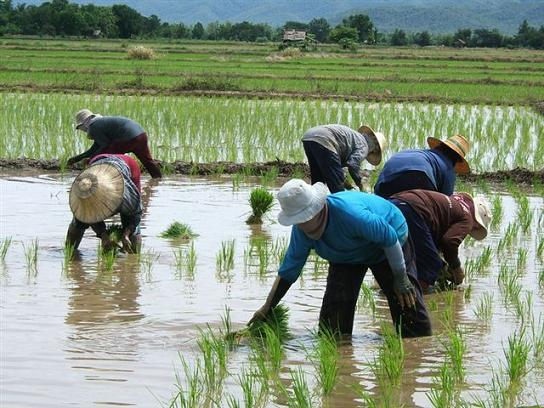 Thailand's Rice Department Plans Pension's for Farmers