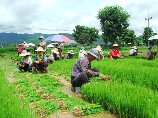 Thailand's Rice Farmers Poorest in ASEAN