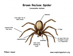 spider_brown_recluse_diagram