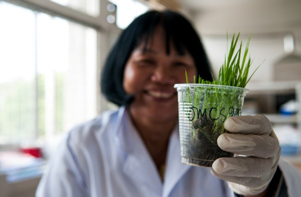 Prof. Nguyen Thi Lang, a Cuu Long Delta Rice Research Institute breeder, holds up a sample of a new rice variety being developed in Vietnam. CIAT/Georgina Smith