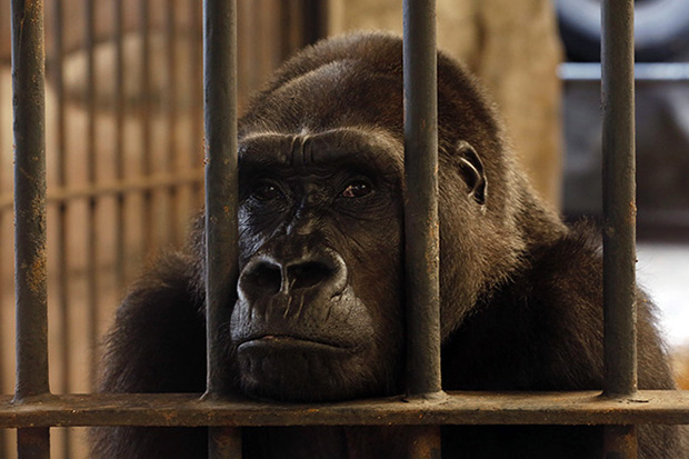 Female gorilla Bua Noi (Little Lotus), about 26 years-old, sits behind the bars and glass-surrounded cage at Pata Zoo, situated on the top floor of a shopping centre in Bangkok