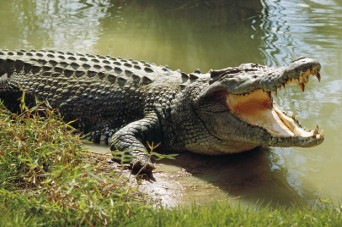 Police said they arrived at the scene to find zoo keepers and staff desperately trying to ward off dozens of reptiles which were feasting on her body (file picture not related to Samut Prakarn Crocodile Farm & Zoo)  Read more: http://www.dailymail.co.uk/news/article-2757498/Suicide-crocodile-pit-Elderly-woman-torn-apart-dozens-giant-reptiles-jumping-pond-zoo.html#ixzz3DUCeTffc Follow us: @MailOnline on Twitter | DailyMail on Facebook