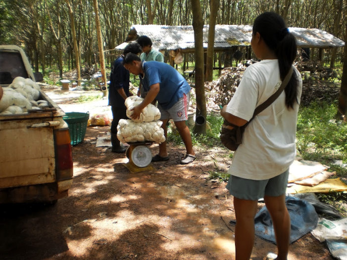 Rubber Farmers in Chiang Rai Cry Foul Over Subsidies to Rice Farmers