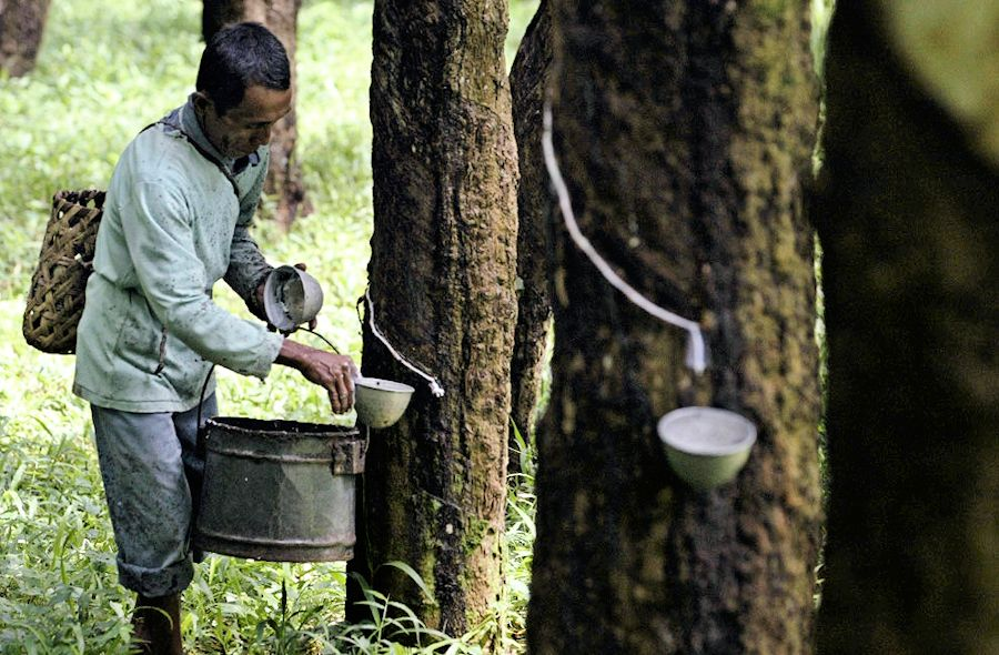 A Thai farmer cuts a rubber tree to bleed its white sap at his rubber plantation in the Ka Po village of the southern Thai province of Phang Nga