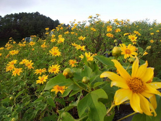 Chiang Rai is famous for its beautiful lilies that have begun to blossom at the arrival of winter