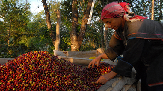 """Doi Tung is at an altitude of about 1,200 meters and we produce 100-per-cent Arabica coffee under the shade of lychee trees"