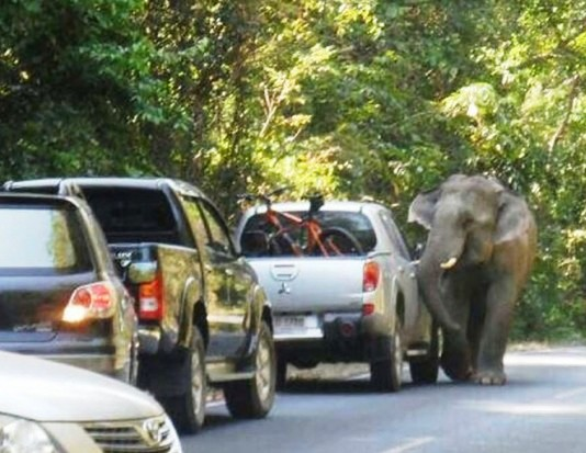 Wild elephant charges at a pickup truck