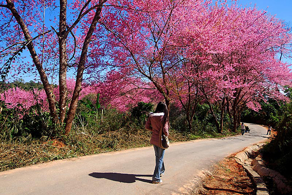Starting Jan 9th Phu Chi Fa Forest Park to Hold Blossoming Pink Thai Sakura Festival
