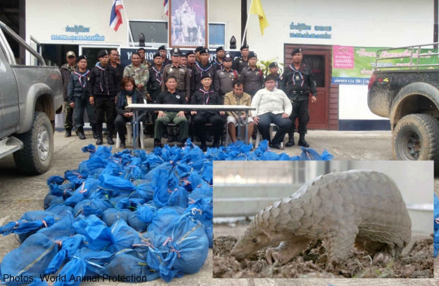 Thai Army Rescues 150 Pangolins in Chiang Mai