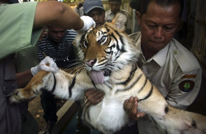 Tiger Temple Raided for Suspected Wildlife Trafficking