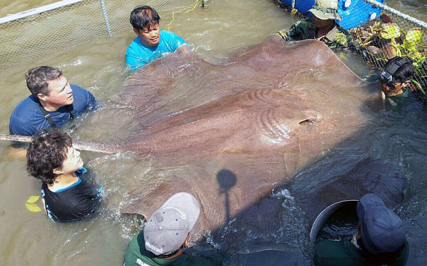 TV host Jeff Corwin (top right) and vet Nantarika Chansue (left) examine the huge freshwater stingray caught in Thailand's Mae Klong River.