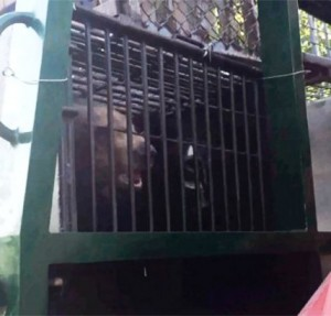 officials tried to leave the temple ground with the bears in a cage