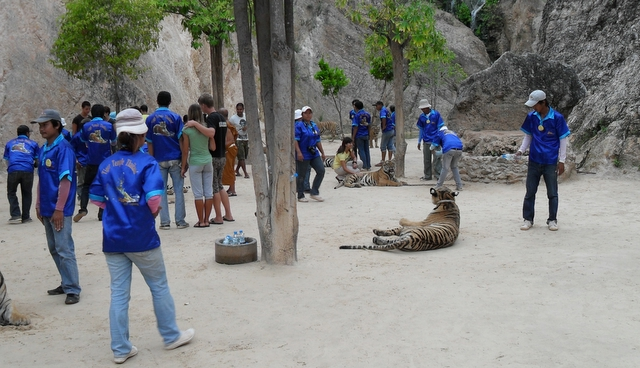 Thai Government Looks to Remove all Tigers From Thailand's Tiger Temple