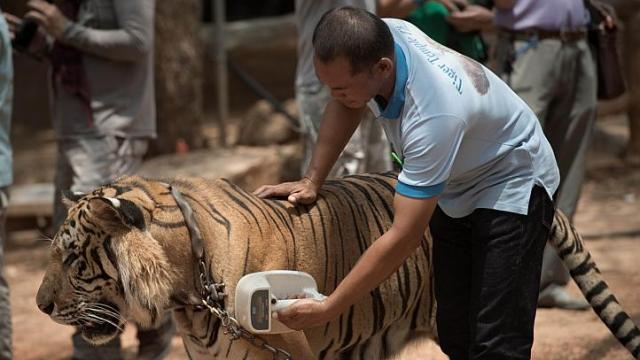 Thai Wildlife Officials Conduct Head Count at Thailand's Controversial Tiger Temple