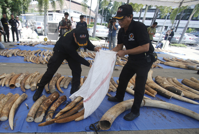 Thai Customs Department officials arrange seized elephant tusks to display them at their headquarters in Bangkok, Thailand, Monday, April 27, 2015. Thailand seized 3 tons of ivory hidden in tea leaf sacks from Kenya in the second-biggest bust in the country's history, one week after the biggest seizure, customs officials said Monday. The 511 elephant tusks worth $6 million, bound for Laos, were seized upon arrival Saturday at a major port in Chonburi province in eastern Thailand. The bust came after customs officials received a tip-off in Laos and Thailand and tracked the containers from Kenya, Customs Department Director-General Somchai Sujjapongse told reporters. (AP Photo/Sakchai Lalit)