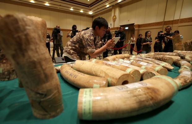 Thai Customs Seize Four Tons of Elephant Tusks Smuggled From Congo