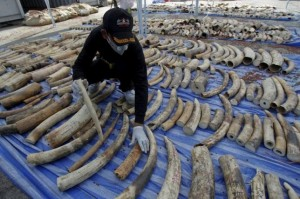 A customs officer arranges confiscated elephant tusks before a news conference at the Port Authority of Thailand in Bangkok