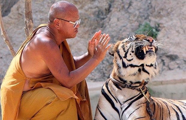 "Abbot of Thailand's Controversial ""Tiger Temple"" Mauled by Male Tiger"