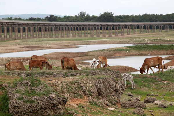 Cattle graze in the drying reservoir of the Pasak Jolasid dam in Lop Buri. Behind them is the railway track structure that normally stands just above the water line. (Photo by Thiti Wannamontha)