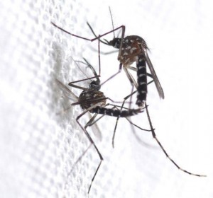 iger mosquitoes mate with several males during their short lives