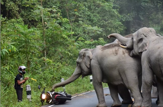 Angry Elephants Confront Motorcyclist in Khao Yai National Park – [VIDEO]