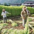 Farmers harvest hemp at a licensed farm in China