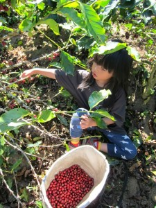 Picking coffee berries and learning about organic farming in Maejantai Village, Chiang Rai.