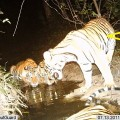 WCS helped identify this poached tiger through camera traps that showed its unique stripe pattern. WCS experts ID the animal as a female photographed Huai Kha Khaeng (HKK) Wildlife Sanctuary
