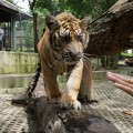 According to the camp manager Vinai Charitchuen, the camp has six tigers for outdoor show.