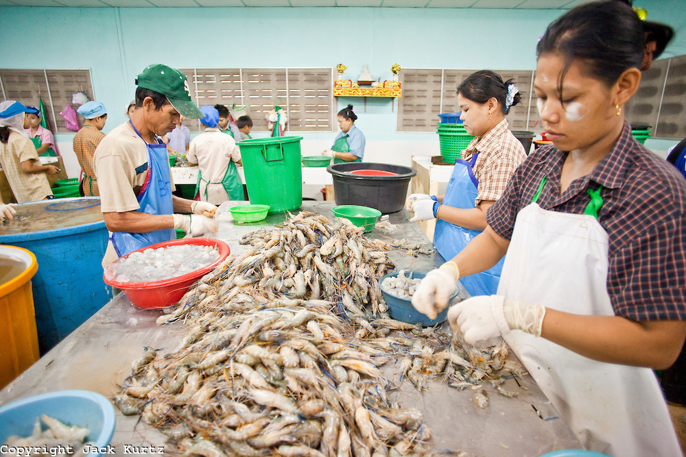 Oct. 6, 2009 -- SAMUT SAKHON, THAILAND: Burmese workers in a Thai owned shrimp processing plant sort and grade shrimp in Samut Sakhon, Thailand