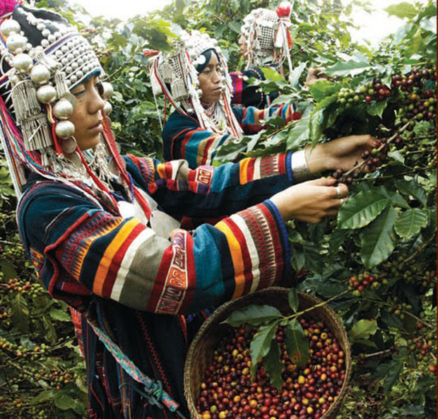 A Thai German project in 1984 supplied 7,000 coffee seedlings to a group of farmers.