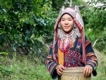 Akha woman collects coffee beans in Chiang Rai Mountains