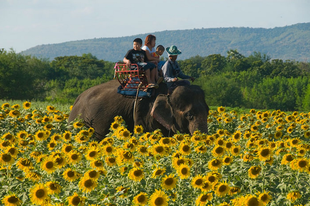 Tourists ride elephant through sunflower field