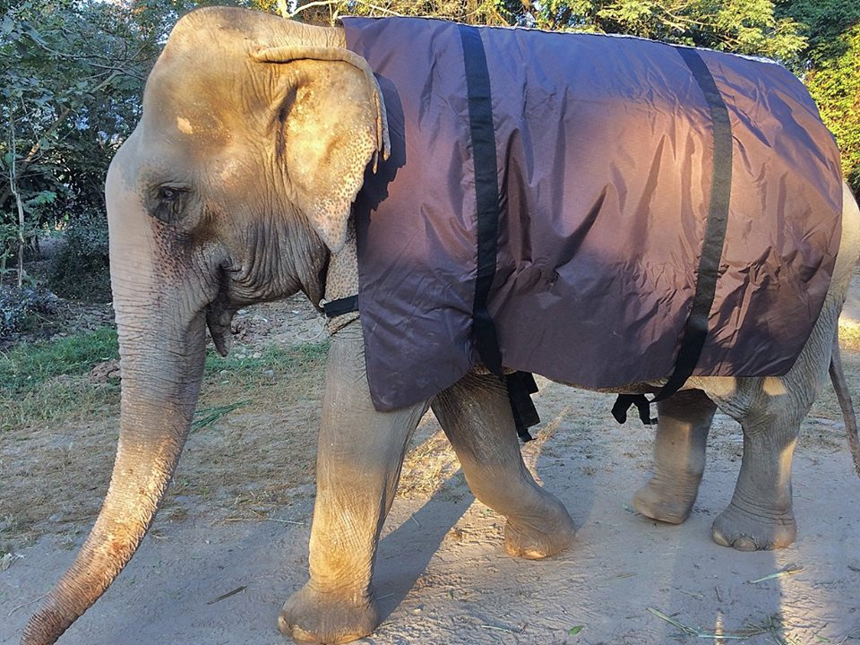 Bua Loi is one of the elephants that shows very obvious shake when she gets cold