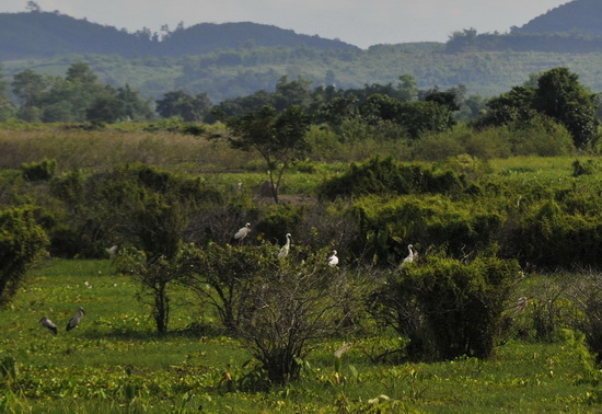 open-billed storks are now occupying rice fields in Chiang Rai