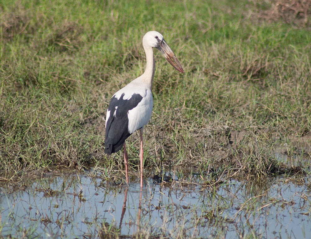 The Asian openbill or Asian openbill stork (Anastomus oscitans) is a large wading bird in the stork family Ciconiidae.