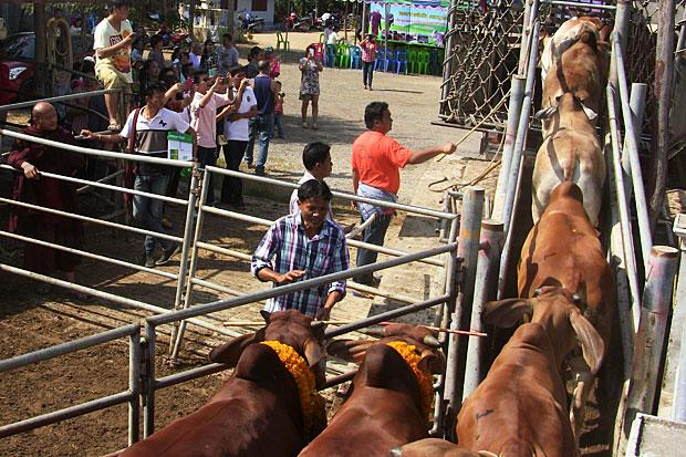 Safe Home in Chiang Rai for Cattle that Survived Truck-Train Crash in Phetchaburi