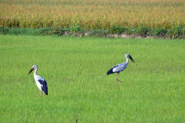 Open-Billed Storks Make Rare Appearance in Chiang Rai Province