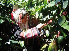About 95% of villagers' income comes from coffee. They produce about 200,000 kilogrammes a year from 2,500 to 3,000 rai, generating about 20 million baht last year.  Please credit and share this article with others using this link:http://www.bangkokpost.com/business/news/855656/opium-growers-find-salvation-in-coffee. View our policies at http://goo.gl/9HgTd and http://goo.gl/ou6Ip. © Post Publishing PCL. All rights reserved.