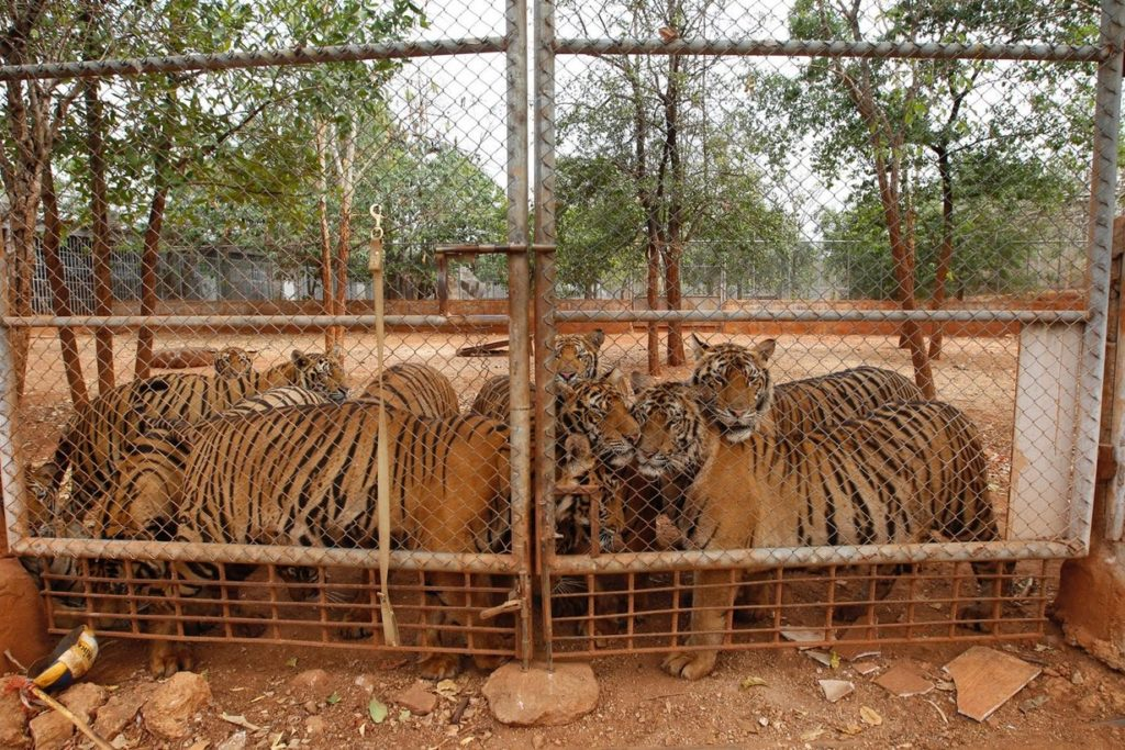 Thai wildlife authorities have sent ten of the temple's tigers to a wildlife sanctuary.