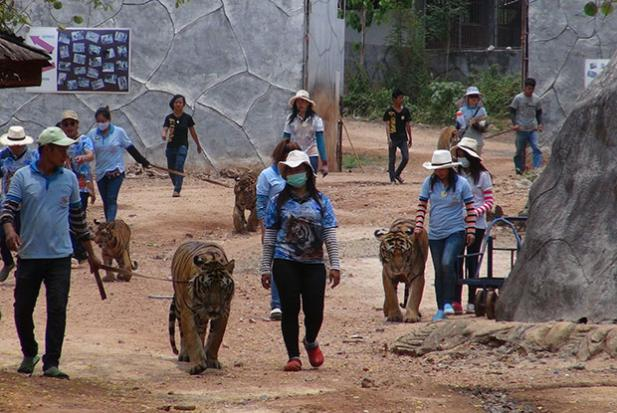 Tiger Temple Forced to Release its Captive Tigers