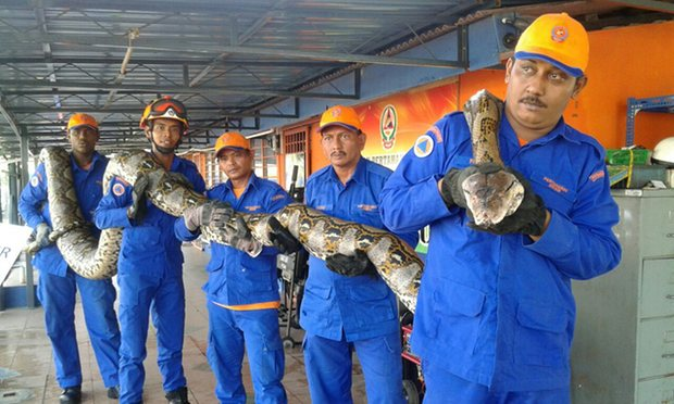 Massive Eight Meter Python Captured at Construction Site in Penang, Malaysia