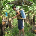 Woman worker spraying paraquat in a banana plantation