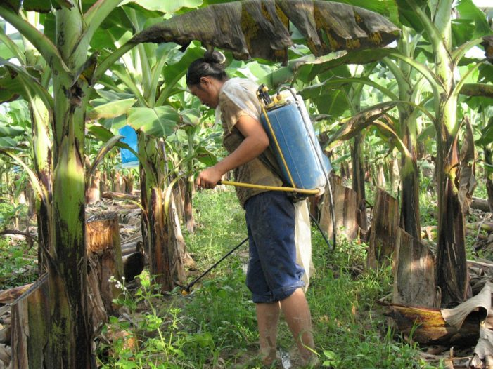 Tests on Workers at Chiang Rai Banana Planataiton, Show High Level of Chemicals in their Blood