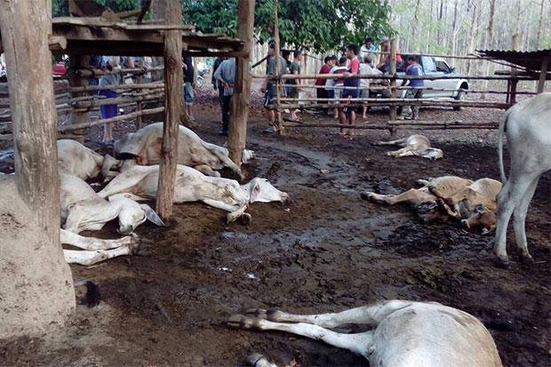 18 cows were found dead at their pen in Nan's Phu Phiang district. (Photo by Rarinthorn Petcharoen)