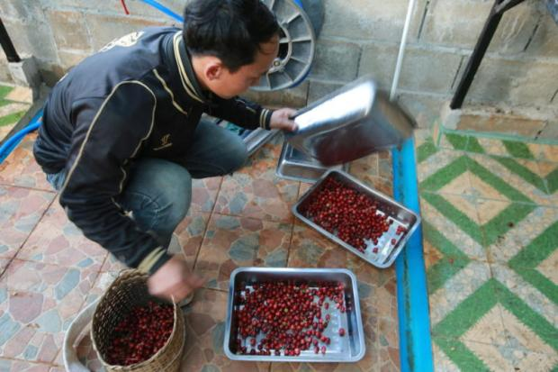 A worker cleans coffee bean cherries after picking them. The cherries are fed to the e-hen in the afternoon.