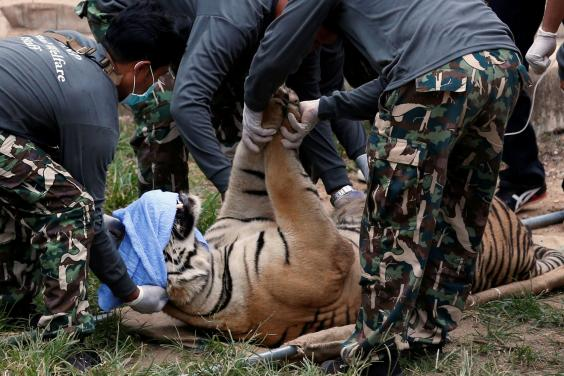 Sedated: A tiger is removed from the Tiger Temple in Kanchanaburi province (REUTERS/Chaiwat Subprasom)