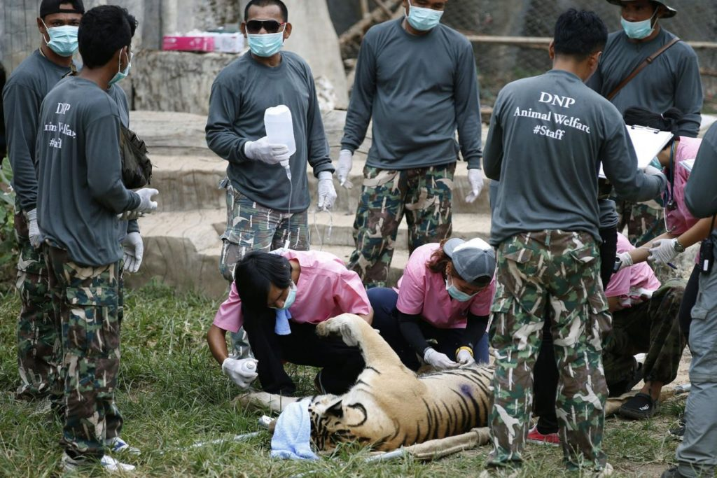 A tranquilized tiger at the Thai temple before being relocated EPA/NARONG SANGNAK